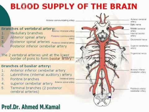 70 Blood supply of the brain الدكتور أحمد كمال Neuroanatomy 70 cxt ...