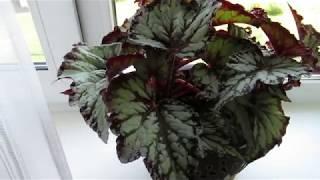 видео Декоративно – лиственные бегонии