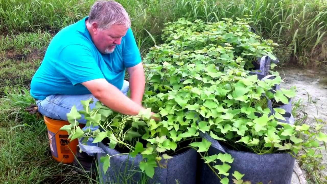 Grow Bag Sweet Potatoes You