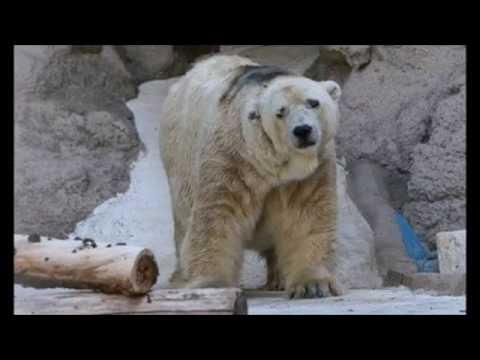 【涙腺崩壊】世界一かわいそうなホッキョクグマが死亡…30歳でようやく過酷な環境から解放される