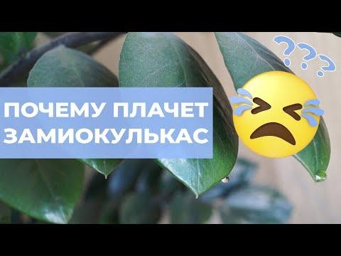 Капли воды на замиокулькасе. Почему желтеют листья и что такое гуттация