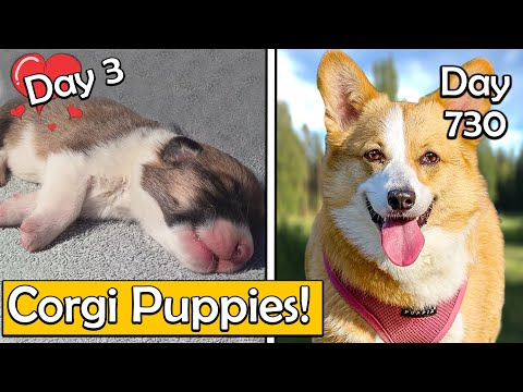 Reasons Why You Should Get A Corgi Puppy (Or Shouldn't)