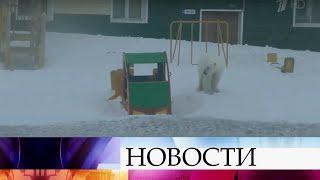видео: На Новой Земле ждут специалистов, которые помогут справиться с нашествием белых медведей.