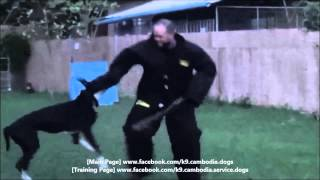 Tyson, K9 Cambodia's Alpha Great Dane Bite Training  For  Level 2 Personal  Bodyguard Protection