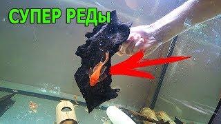 Итог безрамочного нереста, анциструсы супер ред, аквариумные рыбки