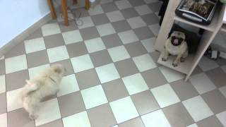 Pomeranian Puppy Vs Pug