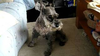 Sleeping Miniature Schnauzer Falling Off Couch