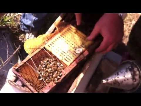 How to Breed Queen honey bees in HD