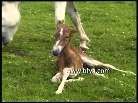 Fohlengeburt von Islandpferd in Echtzeit (26 min) (giving birth of an icelandic horse)