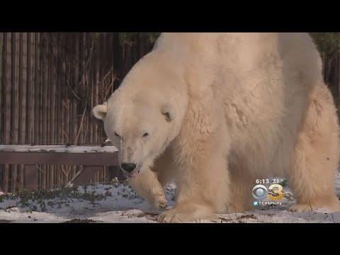 Philadelphia Zoo Throws Birthday Bash For Oldest Polar Bear In US