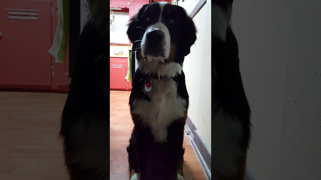 Drooling Bernese Mountain Dog Youtube