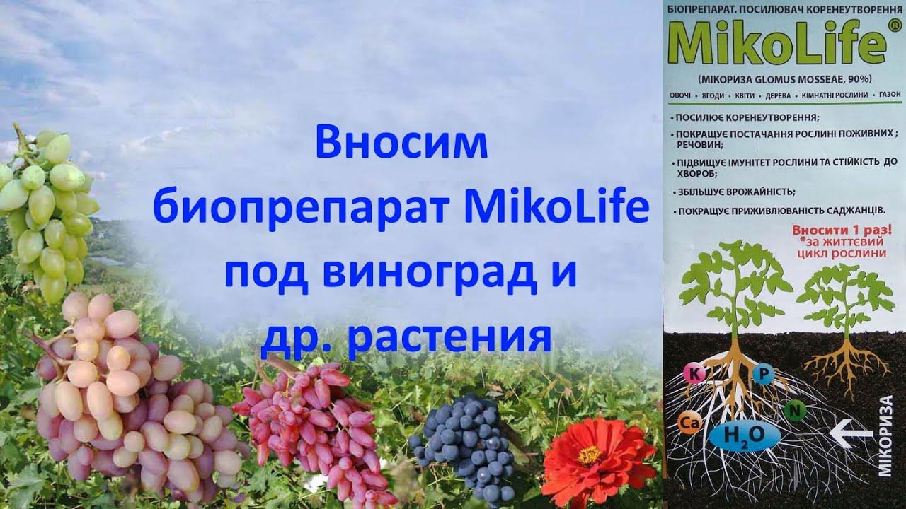 Микориза применение  Биопрепарат MikoLife на даче