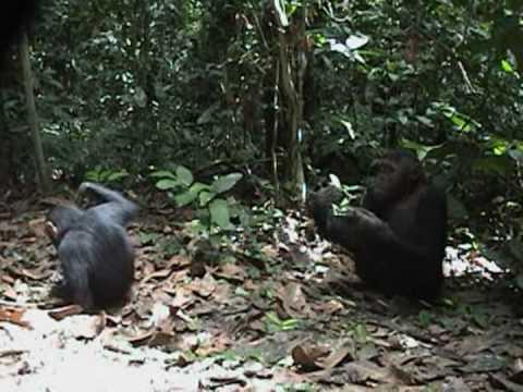Chimp Fishing For Termites