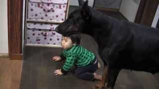 大型犬と1歳3ヶ月の幼児  Doberman vs Baby 【1 years-old 3 months】