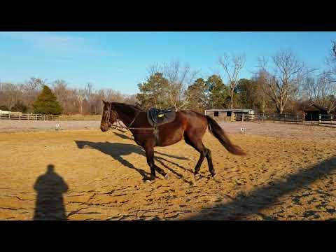 Dresden lunging sale video
