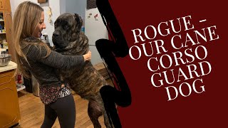 Introduction to Rogue, our Cane Corso Guard Dog