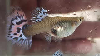 4 Accurate Signs Your Female Guppy is About to Give Birth(Step by step with Sample) 99% working.