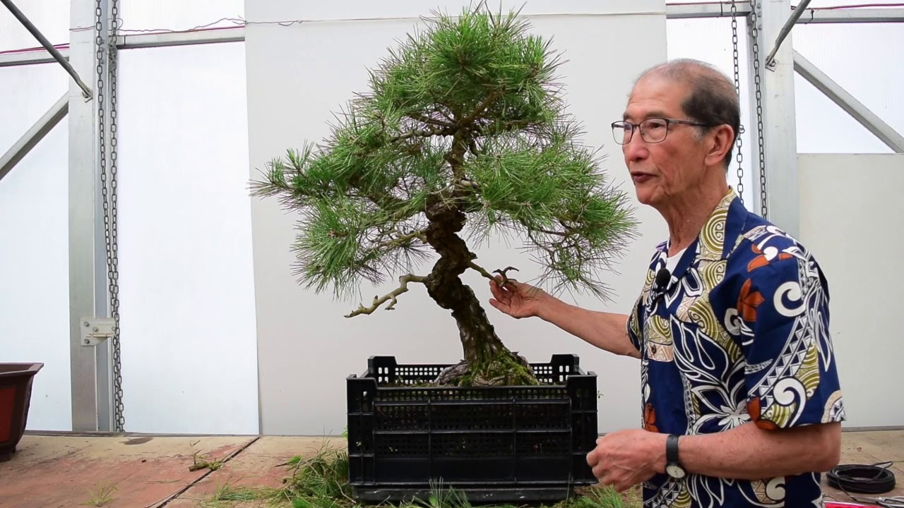 Pruning Shaping A Japanese Black Pine 100 Years Old Youtube