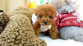 小さく可愛い子犬です!お目目が大きくお顔が詰まった子ですよ!