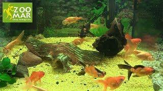 Welon – złota rybka – podstawy pielęgnacji