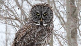 World's largest owl