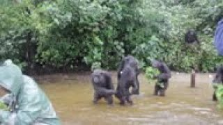 Liberians Need Help To Care For Research Chimps