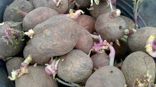 Как мы картофель сажали. As we planted potatoes.(Мы посадили картофель своим способом и это не ново, ведь картофель можно сажать по-разному и выращивать..., 2015-12-31T16:32:38.000Z)