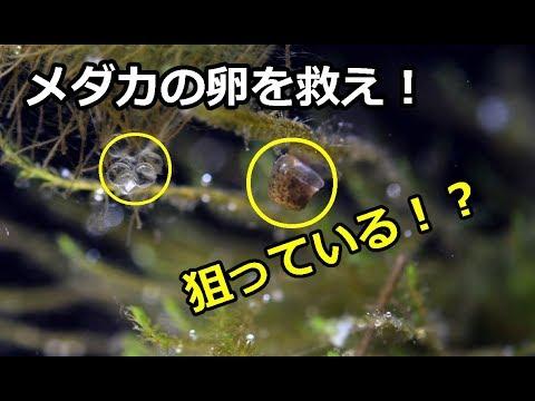 見つけ メダカ の たら を 卵
