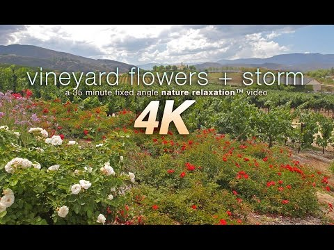 Relaxing 4K Scene: Vineyard Flowers + Thunderstorm 35 Minute Real Time Nature Video