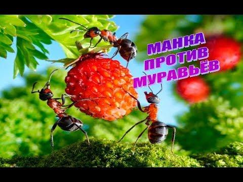 Манка против муравьёв.