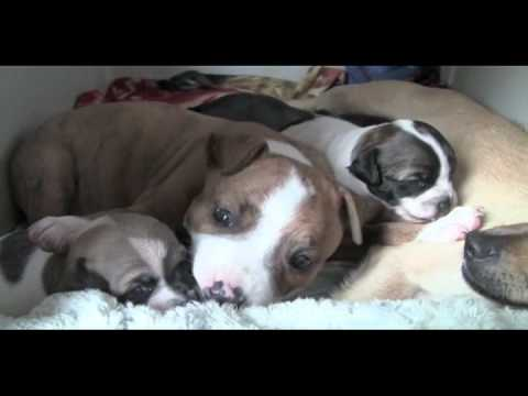 Mama Chihuahua takes in Orphaned Pit Bull Puppy.mov