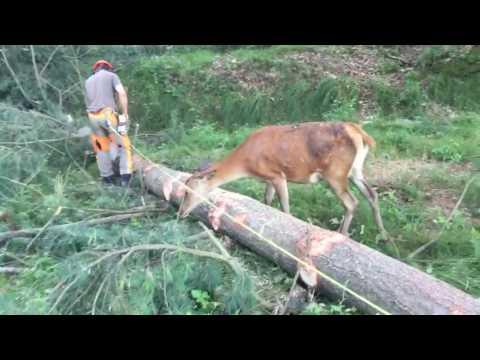 Reh besucht Waldarbeiter
