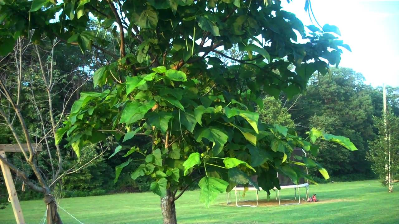 Catawba fishing tree for sale at tn tree nursery youtube for Catalpa worms fishing