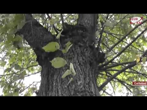 Cəlilabad Sakinin Ağac Sevgisi
