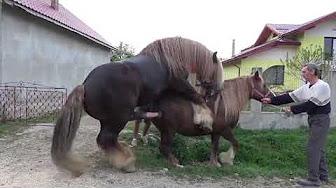 Kuda kawin