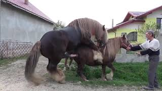 Download lagu Kuda Kawin Anunya Gede Banget Horse Mating Compilation MP3
