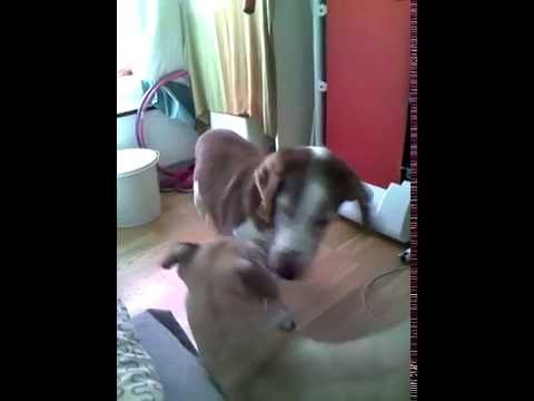 Smart Dogs: My dog greets grandpa Charlie :)