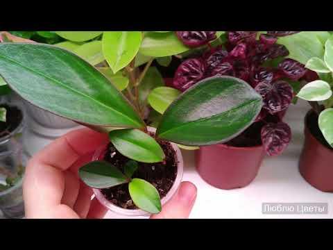Вариегатность при выращивании растения из листа
