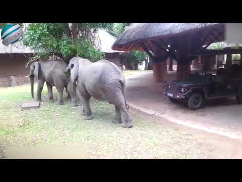 Pair of elephants boldly walk through hotel reception in Zambia | Breaking News!