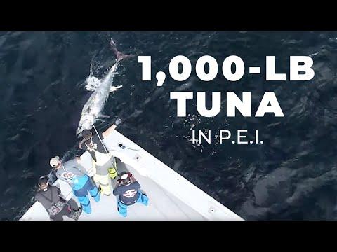 1,000-LB. Tuna In P.E.I.