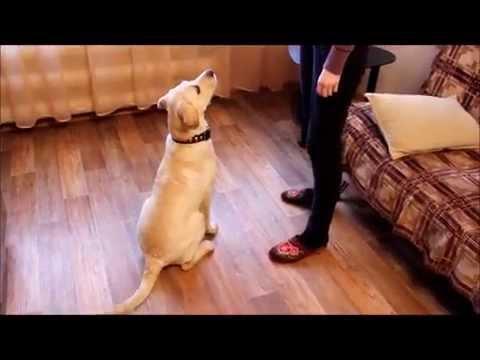 Видео как дрессируют собак