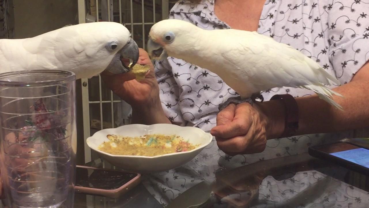 Goffins and umbrella cockatoo sharing baby bird food - YouTube