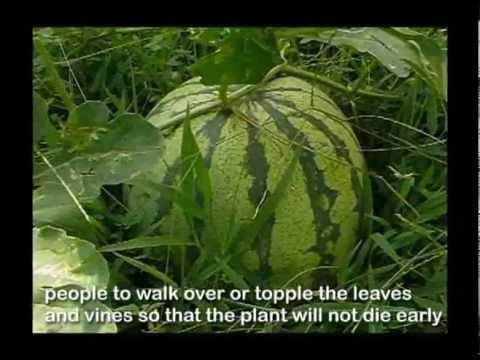"""Watermelon: Unsaon ug kanus-‐a Angayan Harbison?"" (When & how to harvest)"