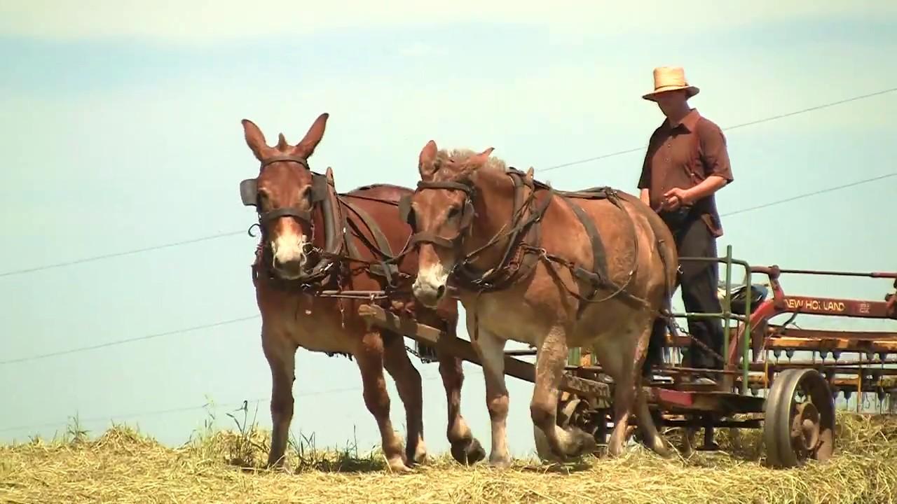Amish Farmer Hay Raking the old Fashion way