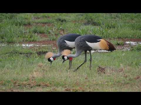 PC299135   Kraanvogels Amboseli NP