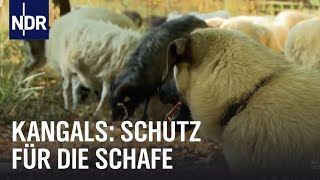 Wolf Bodyguards fr Schafe  NaturNah  NDR Doku