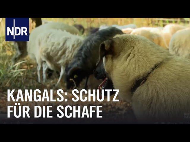 Kangals: Bodyguards für Schafe   NaturNah   NDR Doku