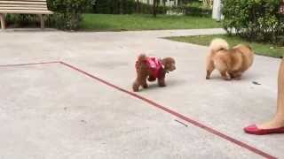 Making New Friends - Toy Poodle And Pomeranian