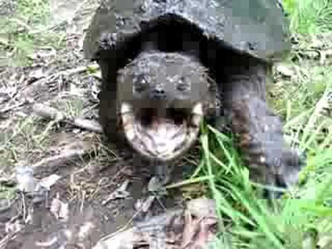 AGGRESSIVE snapping turtle!!!! Dont blink at 1:00!