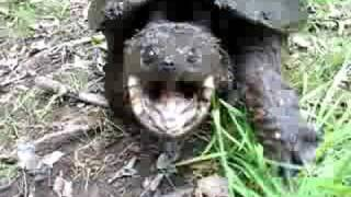Aggressive snapping turtle. Don